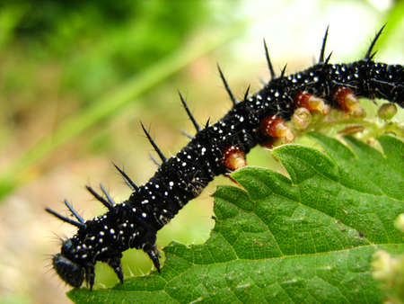 spectacular caterpillar on a green leaf
