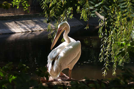 white pelican stands at water