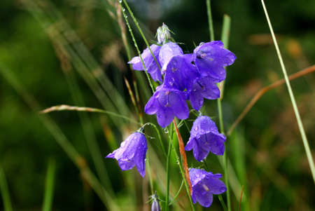 wet from the dew-purple flowers, a bell