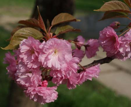 Japanese sakura flowers lush