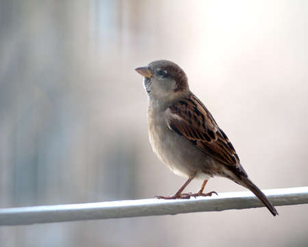 house sparrow stands on the bar Stock Photo