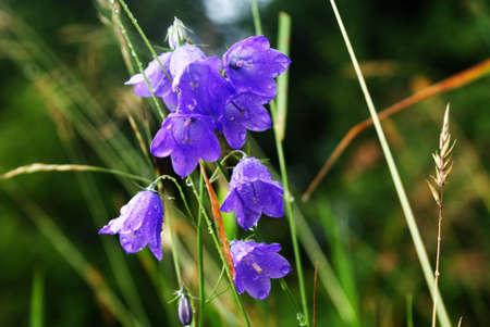 purple flowers in the drops of dew