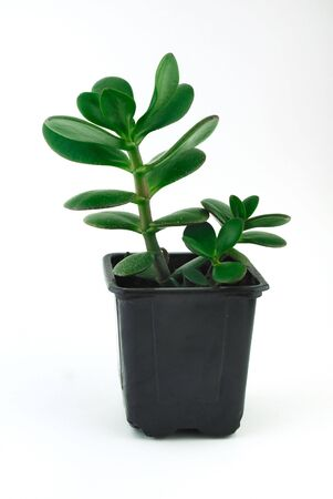 crassula ovata: Young Jade Tree that is ready to be replanted