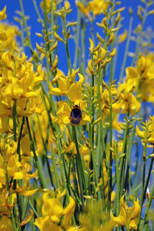A bee collecting pollen from some yellow flowers Stock Photo - 2310373