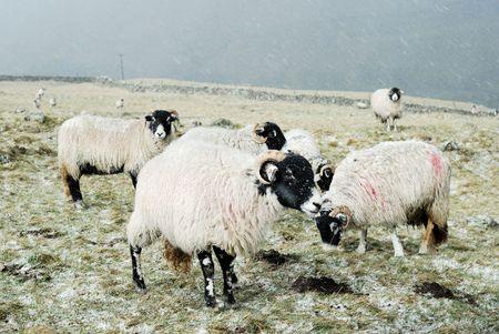 yorkshire dales: Ovejas en los valles de Yorkshire en la nieve.