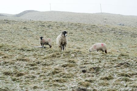 Sheep in the Yorkshire Dales out in the snow. photo