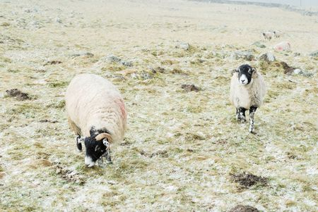 dales: Sheep in the Yorkshire Dales out in the snow.