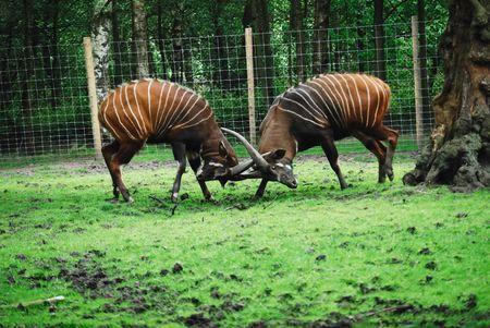 rutting: Bongo antelope rutting