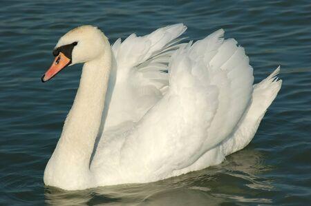 Beautiful swan swimming in a lake