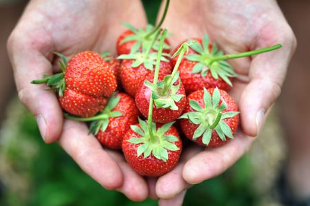 Fresh picked strawberries held over strawberry plants photo