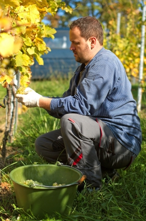 the fruitful: Young vintner is harvesting grape