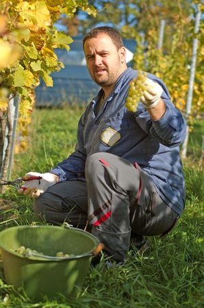 Young vintner is harvesting grape Stock Photo - 7174486