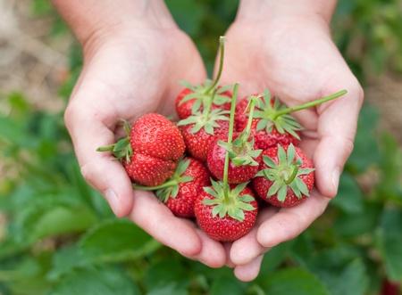 fresa: Escogidas de fresas frescas celebraron en las plantas de fresas