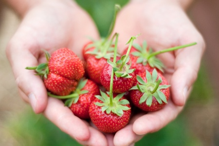 monoculture: Fresh picked strawberries held over strawberry plants