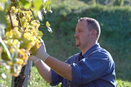 wheather: Young vintner is harvesting white grape in the wineyard by sunny wheather Stock Photo