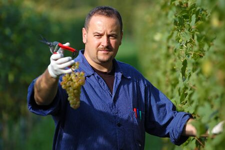 the fruitful: Young vintner is harvesting white grape in the vineyard by sunny weather Stock Photo