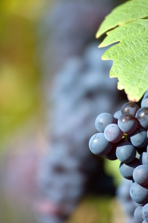 cabernet: Red bunch of grape with leaf in the vinyard with copytext Stock Photo