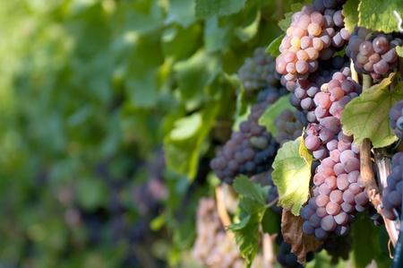 vi�edo: Uvas blancas en el vi�edo