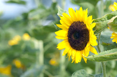 Beautiful Sunflower on the field photo