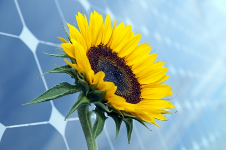 Sunflower with solar panels in the background photo