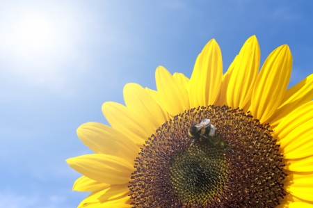 wheather: Beautiful Sunflower With Bee Against The Blue Sky By Sunny Wheather