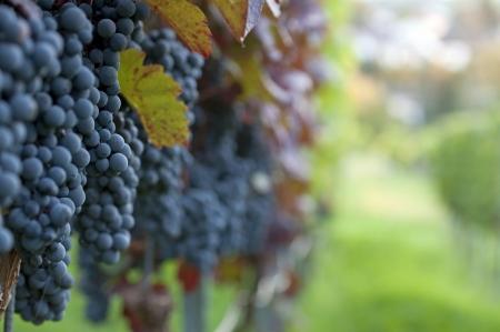 bodegas: Red mont�n de uvas en el vi�edo en tiempo de cosecha