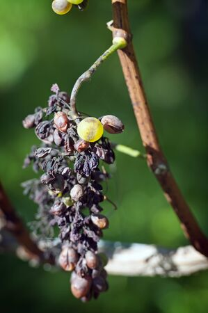 An Example of Peronospora, Grape disease