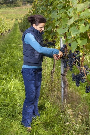 Woman in the vineyard picking grape during wine harvest photo