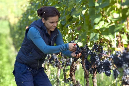 wine grower: Woman in the vineyard picking grape during wine harvest
