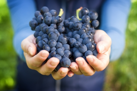 winemaker: Hand Holding Fresh Red Bunch of Grapes In The Vineyard
