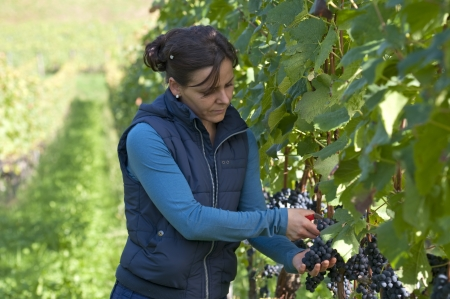 winemaking: Woman in the vineyard picking grape during wine harvest