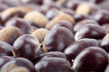 Plenty of Hand-picked Ripe Chestnuts in autumn photo