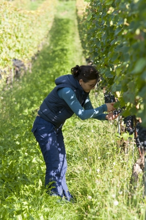 Woman in the vineyard picking grapes during wine harvest Stock Photo