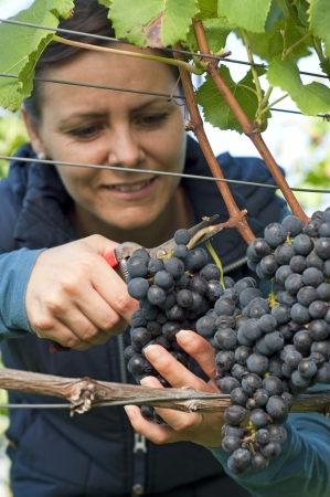 Woman in the vineyard picking grapes during wine harvest photo