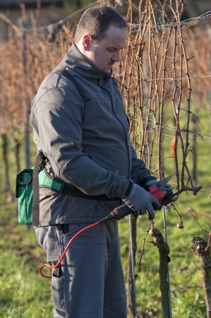 migrant: Young Vintner pruning wine grapes with an electrical pruner Stock Photo