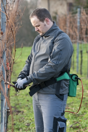 Young Vintner pruning wine grapes with an electrical pruner photo