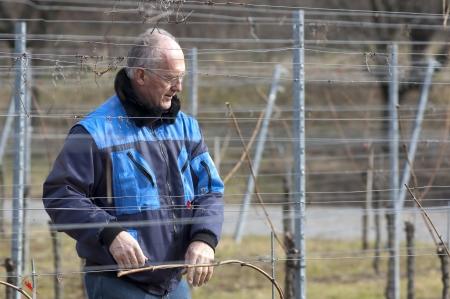 migrant: Experienced Vintner is working in the vineyard
