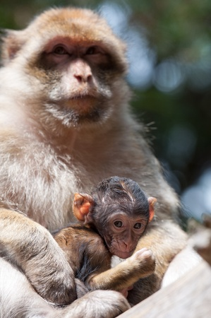 berber: Berber Monkey takes care about her baby Stock Photo