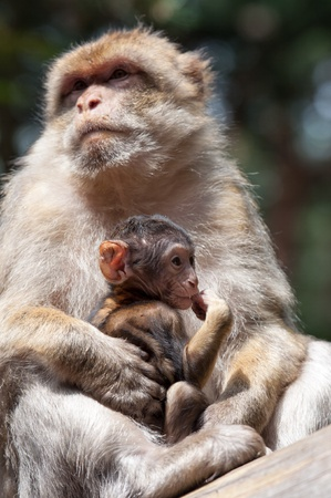 berber: Berber Monkey Mother takes care about her baby Stock Photo