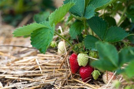 strawberry plant: Closeup of fresh organic strawberries growing on the vine