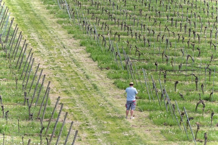 Farmer is checking the health of the grape vine and searching for illnesses in the vineyard photo
