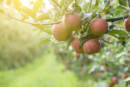 wheather: Red Apples On Tree In Apple Orchard By Sunny Wheather Stock Photo