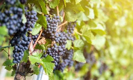 sonoma: Red bunch of grapes in the vineyard by sunny weather Stock Photo