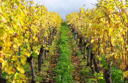slovenia: Many Colors of the Vineyard in autumn Stock Photo
