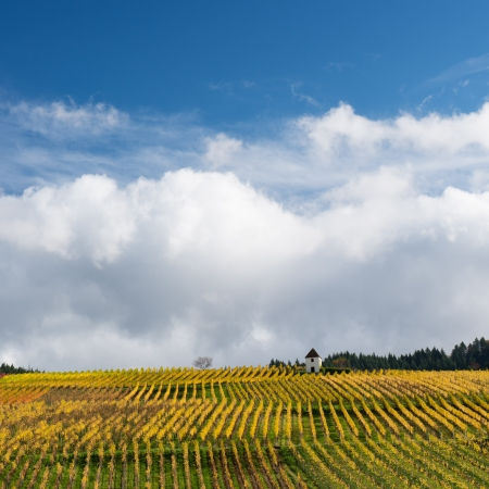 grape field: Colorful Vineyard Landscape in Autumn With Blue Sky