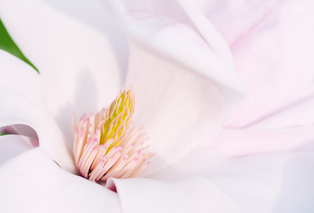 stigmate: Macro Shot Of The Stigma From A Magnolia Flower Banque d'images