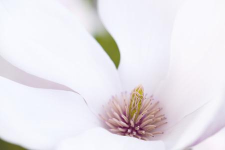 stigmate: Prise de vue macro de la stigmatisation De A fleur de magnolia