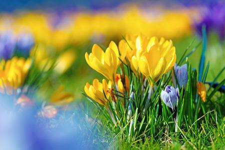 crocus: Bouquet of Crocus Flowers In Spring