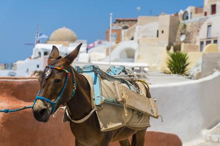 burro: Un burro destinado al transporte de turistas desde el Puerto En Fira, Santorini, Grecia