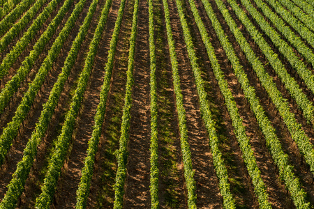 in a row: Beautiful Vineyard Rows From Above Travel And Wine-making Background. Stock Photo